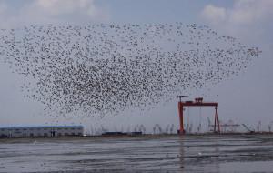 【丹东图片】鹬鸥舞天际,雁鸭戏水浪~~湿地观鸟掠影