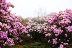 仙女散花龙肘山——米易山水徒步协会穿越龙肘山杜鹃花海游记。