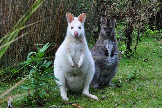 """因为全身雪白十分美丽素有""""白雪公主""""之称,与其他袋鼠相比,通体全白的"""