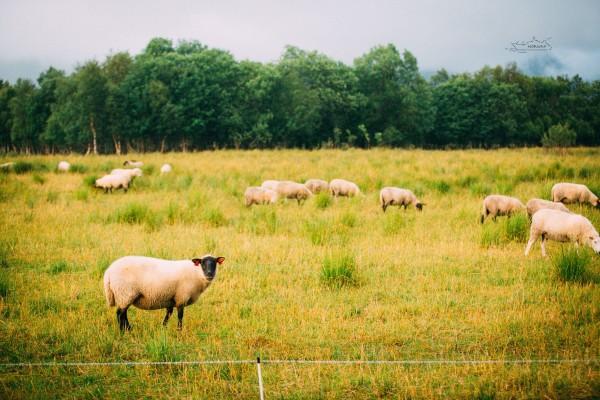 第一次见到这么可爱的羊群!