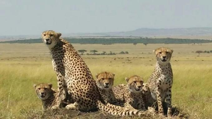 豹 豹子 壁纸 动物 桌面 680_383