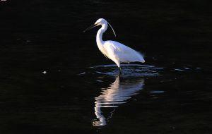 【邢台图片】【原创摄影】清河拍白鹭——孤独一只