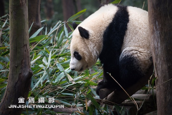 游记           熊猫,集懒,憨,顽,趣于一身,确实是世界上最可爱的动物
