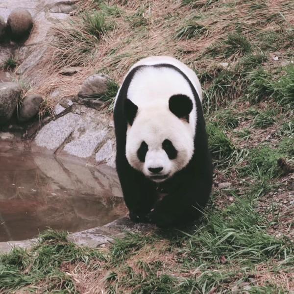 熊猫可爱的吐舌头头像