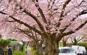 【加拿大图片】三生三世十里樱花