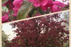 香山公园的海棠
