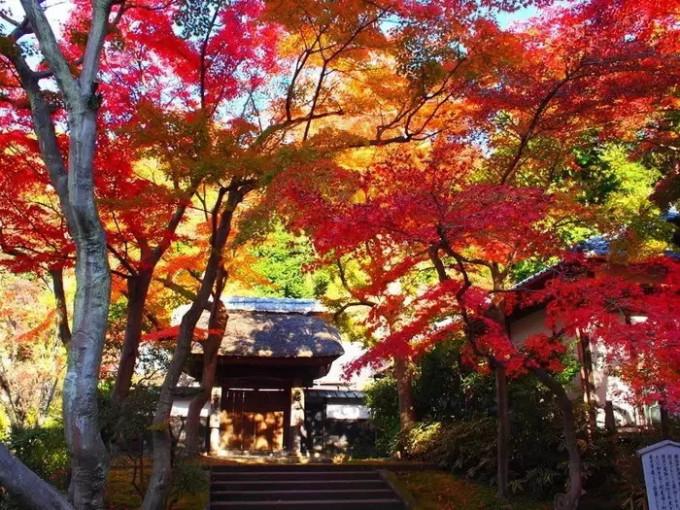 长谷寺,在古都镰仓来一次红叶狩图片