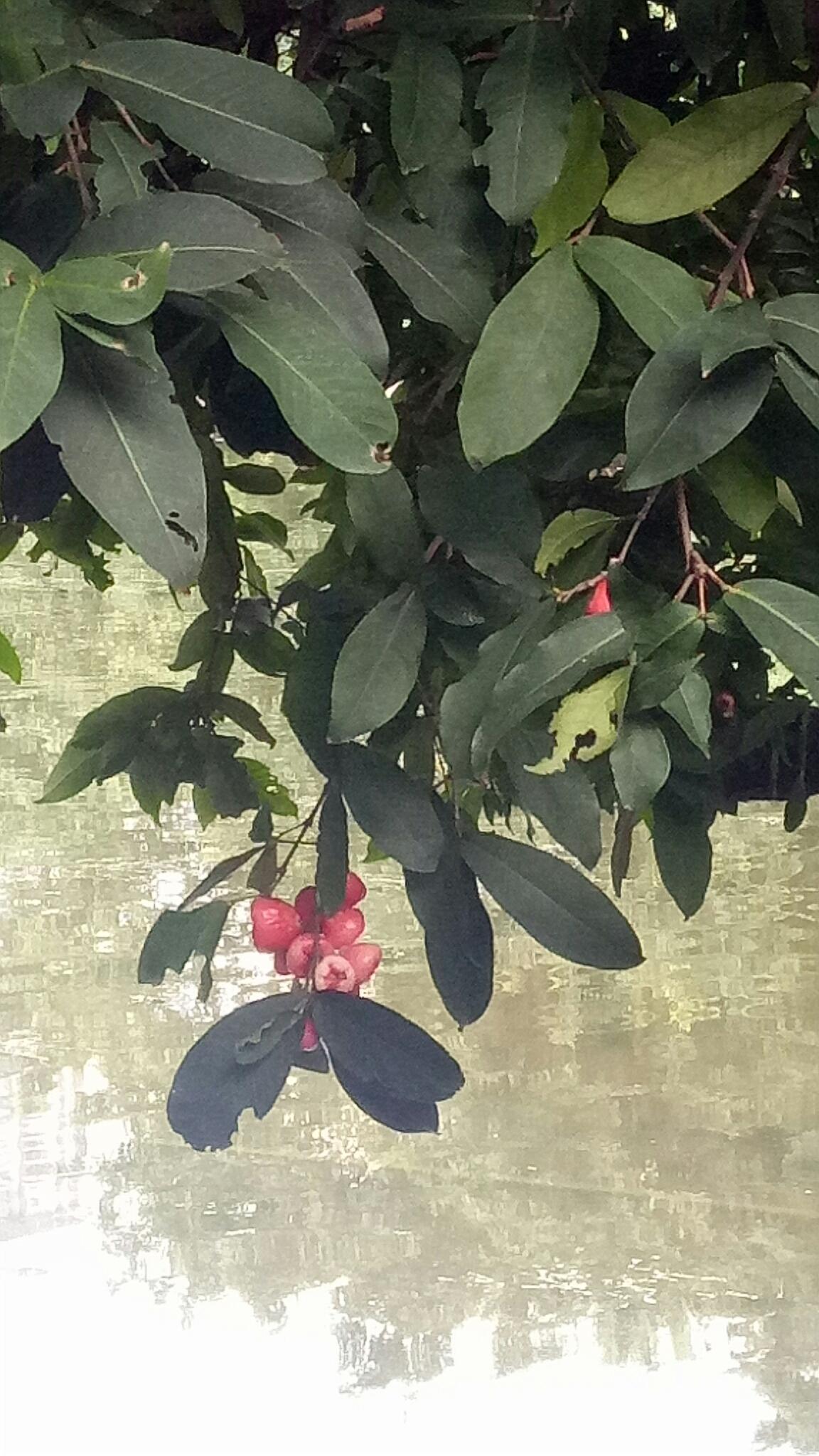 蒲桃成熟时