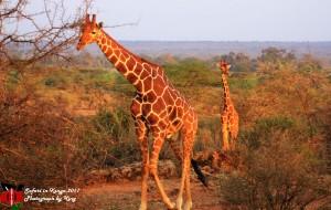 【肯尼亚图片】追逐动物的追逐--我们的肯尼亚之旅