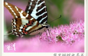 【顺义图片】《梦里蝴蝶也寻花》