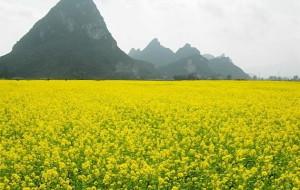 【上林图片】上林油菜花~~我们广西也能看油菜花哦~~
