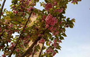 【花都图片】周末阳光观樱花赏油菜花