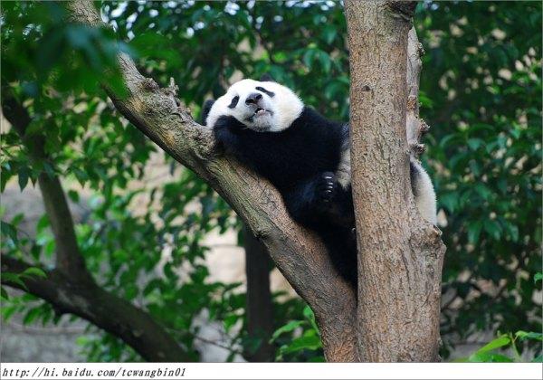 1、多可爱的熊猫宝宝,比那些猫啊狗啊萌多了,真想顺两只回家当宠物养  2、一进入主园区就看到这座雕塑,本来黑白相间挺可爱的熊猫非给整成金色,暴富心理啊  3、大熊猫繁育研究基地位于成都北郊斧头山,距市区二十里地,占地一千亩,园子有山有水老大了  4、园内所有的道路都被翠竹环绕,形成了道道绿色长廊,老有情调了  5、这里既是熊猫繁育研究基地,也是熊猫博物馆,甚至还有熊猫食堂、熊猫剧场等设施  6、喏,还有一座规模不小的熊猫医院  7、开饭啦!熊猫都跑到固定地点吃竹子  8、哇,竹子美味,大快朵颐  9、熊