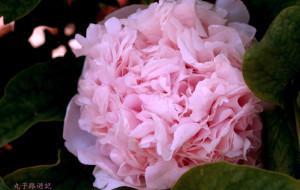 【菏泽图片】牡丹花开---4月的菏泽