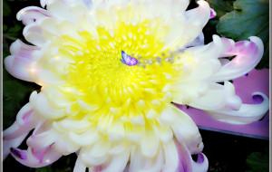 【福州图片】虎纠老妈带女儿逛西湖--小清新菊花展