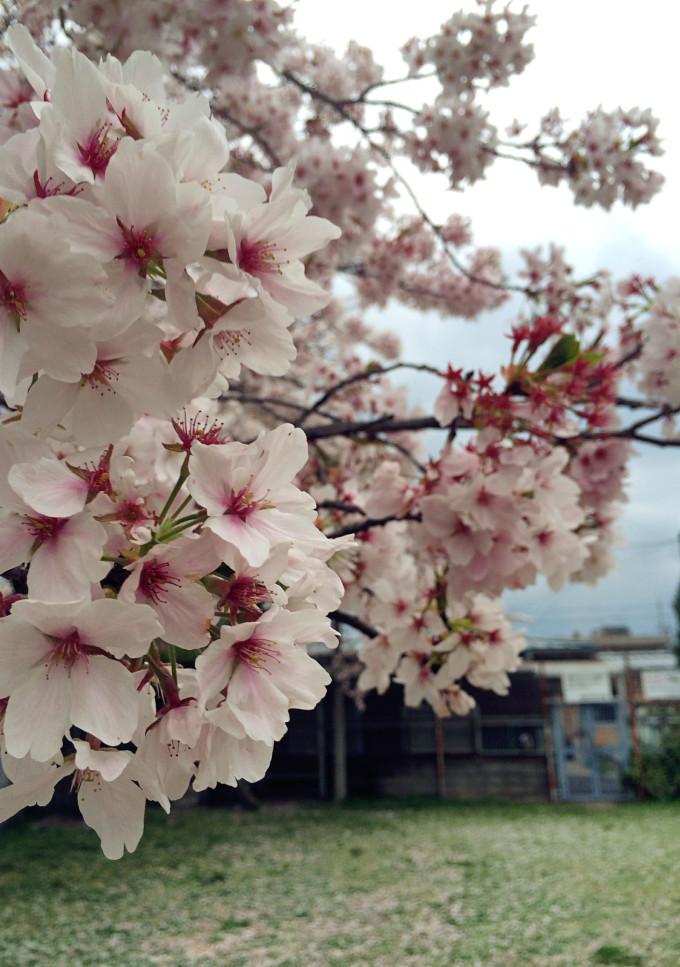 彩樱花落花风景画_【落花缤纷】由雨转晴的樱花尾