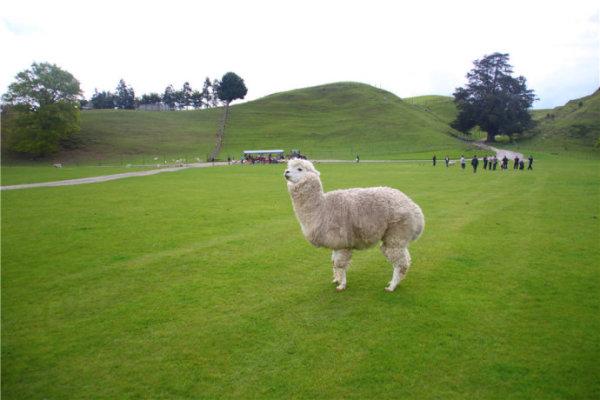 在新西兰与神兽面对面-草尼马奇遇记图片