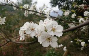 【钦州图片】2016赴梨花之约