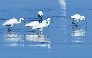 【北戴河图片】北戴河湿地白鹭飞