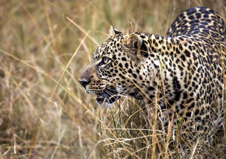 花豹与猎豹——肯尼亚纪行(4)
