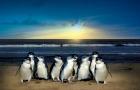 买一送一 墨尔本菲利普企鹅岛企鹅归巢门票 近距离看小企鹅回家 (可加丘吉尔岛 考拉中心 南极馆和生态游船之旅)