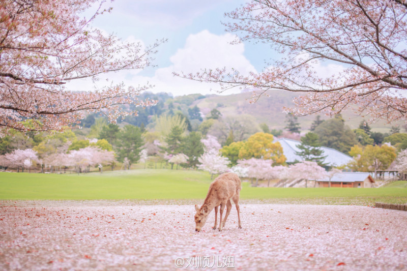奈良公园里的樱花与鹿. by 刘顺儿妞