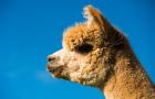 新西兰 基督城 阿卡罗阿莎玛拉羊驼农场 亲子户外活动 体验当地牧场配资官网 (可爱的羊驼+牧场美景)