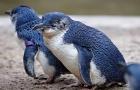 新西兰南岛 但尼丁奥玛鲁蓝企鹅栖息地门票 近距离观看小企鹅