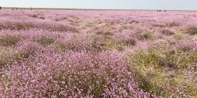 【余干图片】余干康山堤坝,鄱阳湖边梦中的花