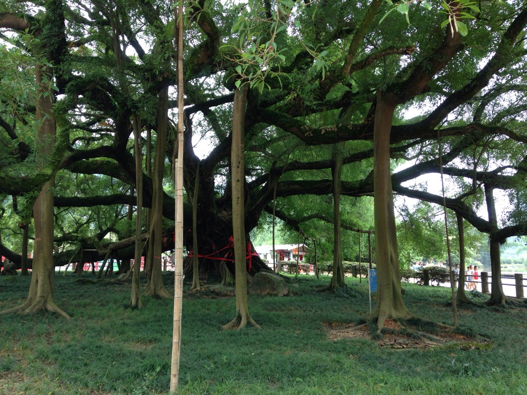 Yangshuo Big Banyan Tree